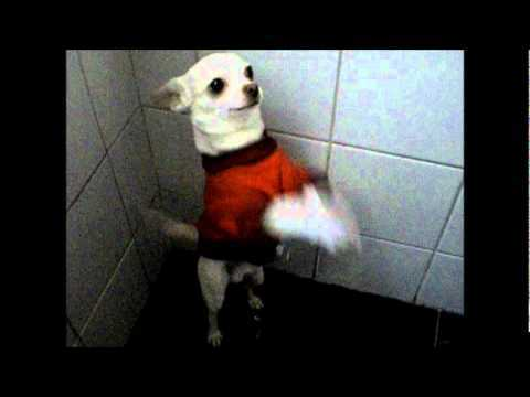 Rambo the Chihuahua Loves To Dance