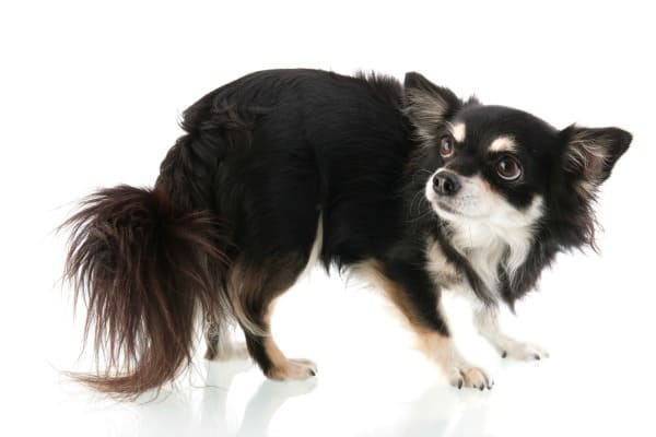 timid Chihuahua