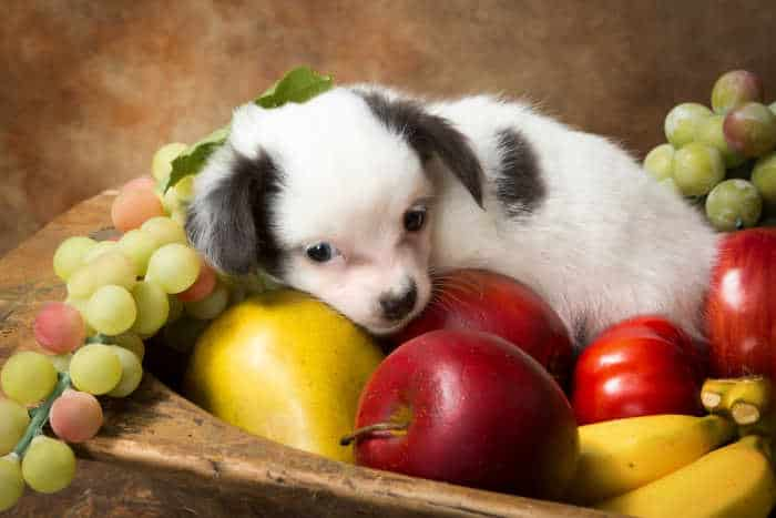 white and black chihuahua puppy laying in bowl of fruit