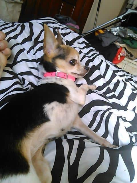 Fayleen the Chihuahua