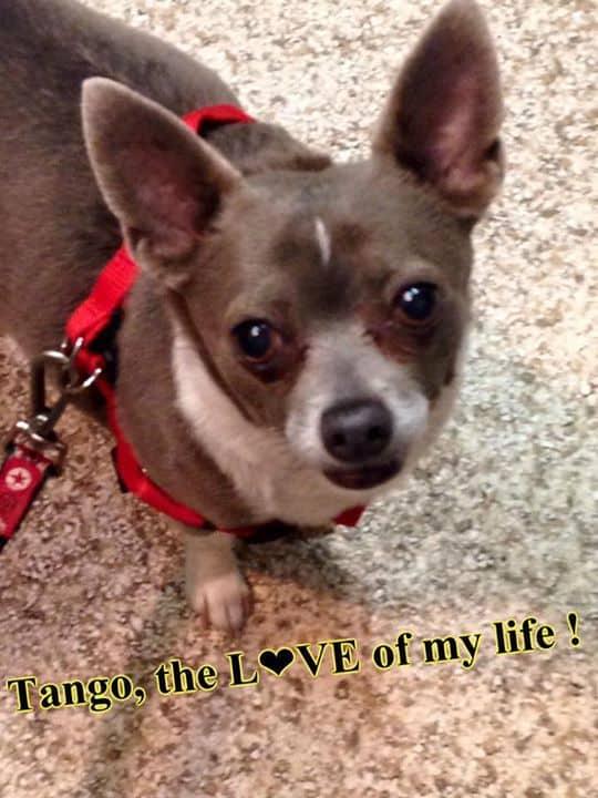Tango the Chihuahua