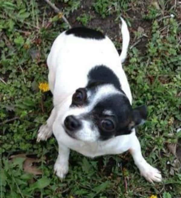 Princess the Chihuahua