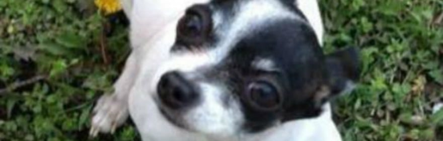 10 Little Chihuahuas-Gone but Not Forgotten