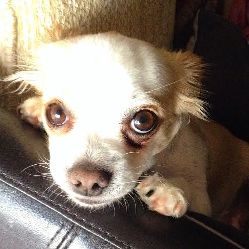 Benny the Chihuahua