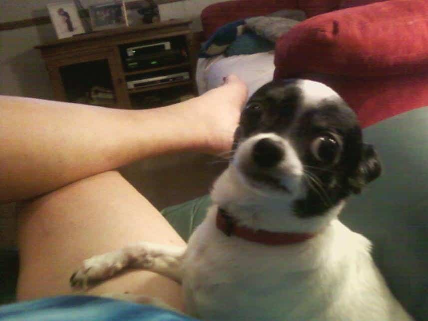 Jitterbug the Chihuahua