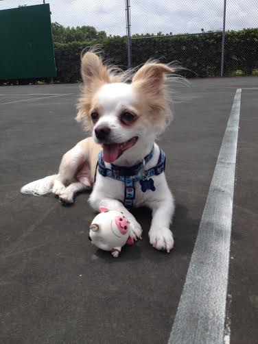 Zeppy the Chihuahua