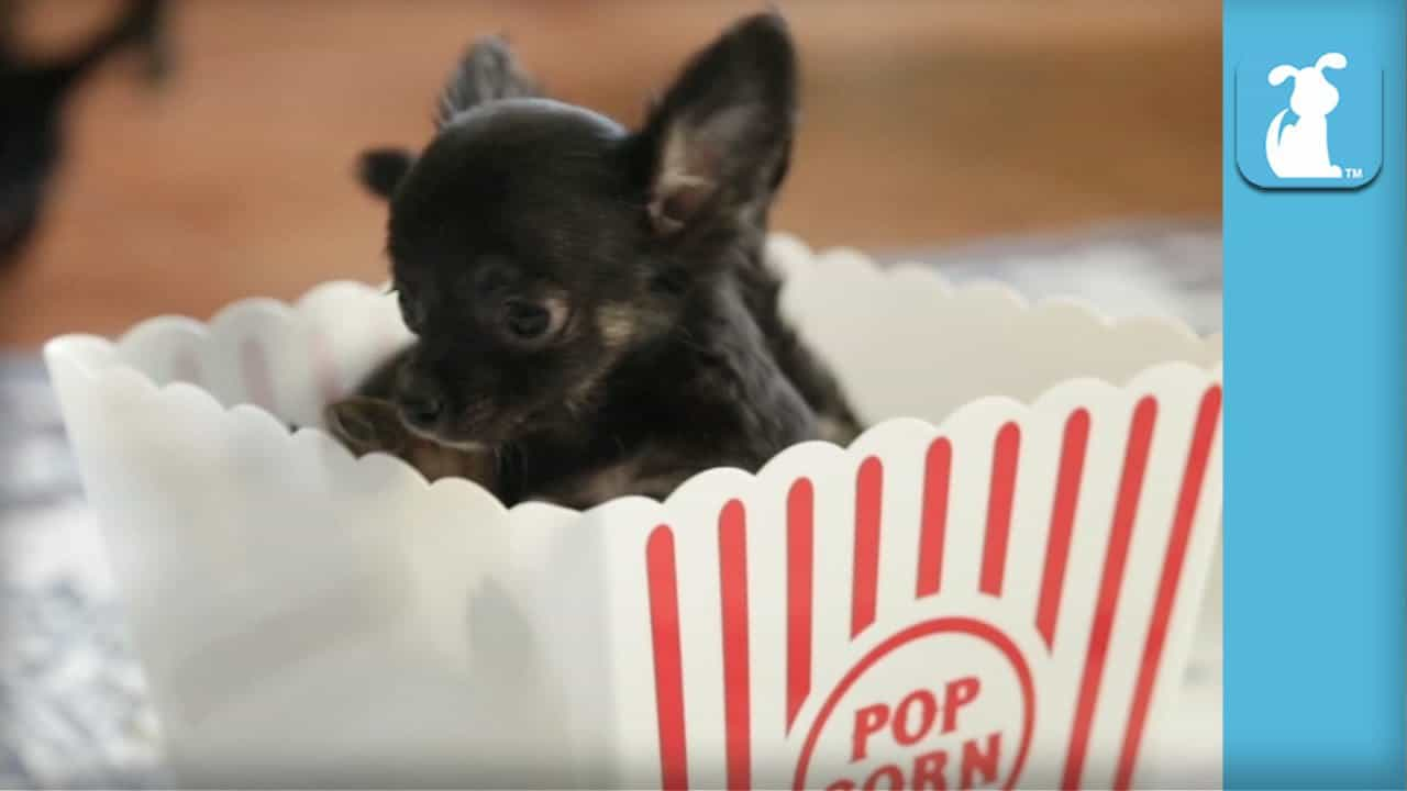Cute Puppies in a Popcorn Box