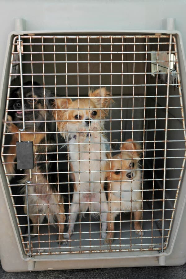 Chihuahuas-in-kennel