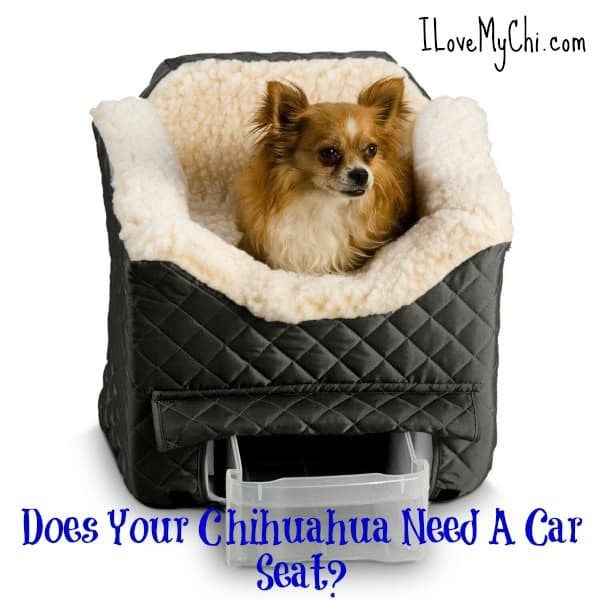 Does Your Chihuahua Need A Car Seat