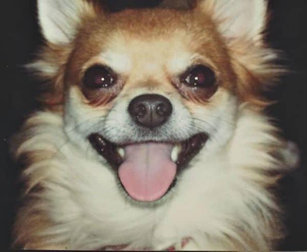 Pepper the Chihuahua