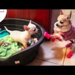 Chihuahua Meets Her Baby Brothers for the First Time
