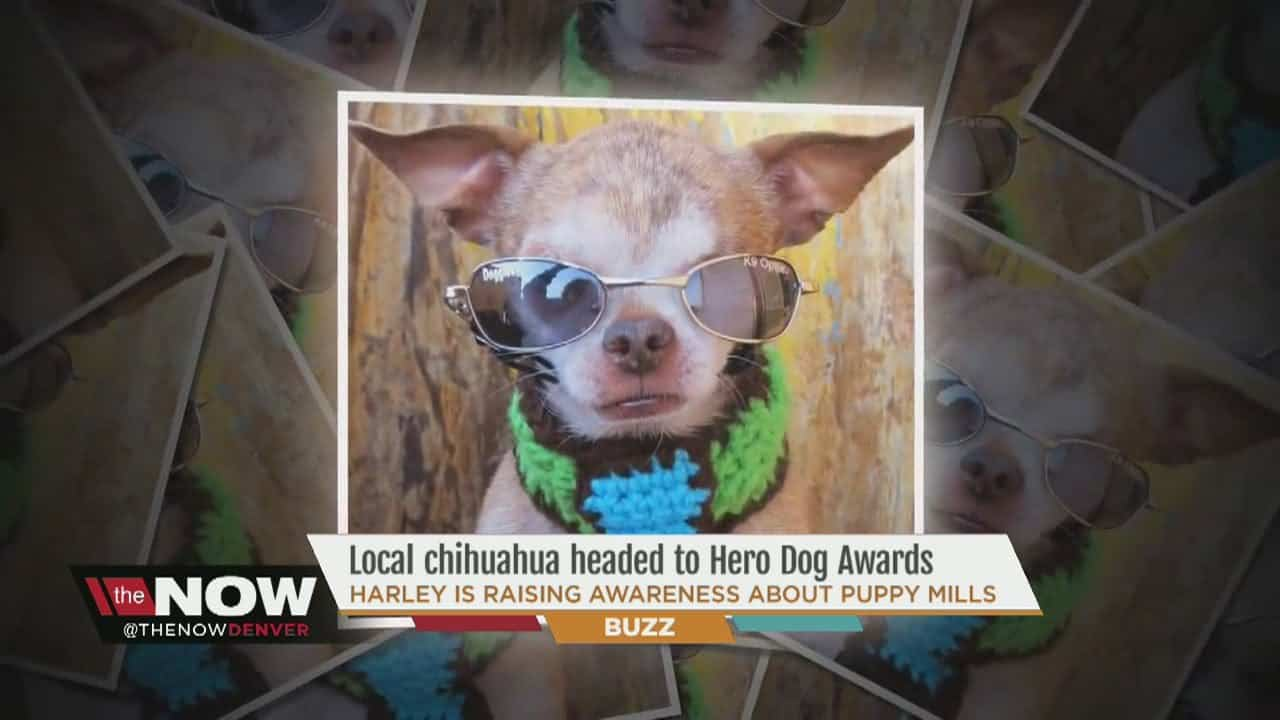 Harley the Puppy Mill Hero