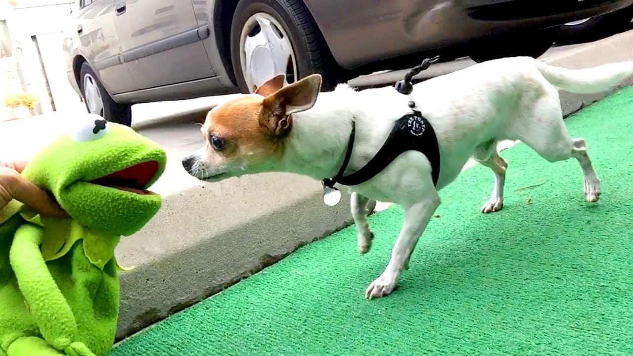 Kermit vs Pancho