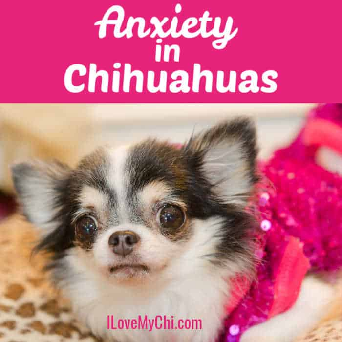 3 toned chihuahua looking anxious