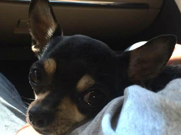 Anxiety in Chihuahuas