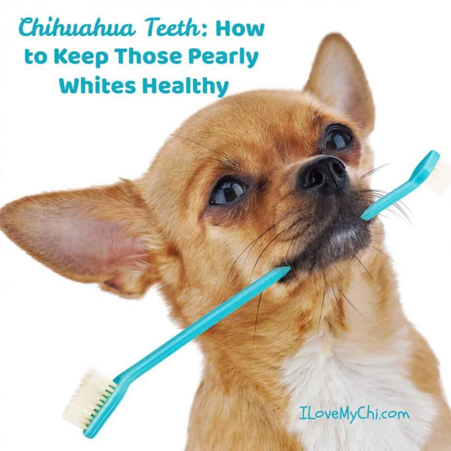 chihuahua with toothbrush in mouth with toothbrush in mouth