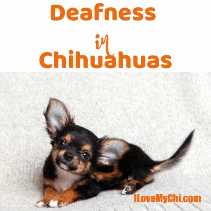 cute tr-colored chihuahua dog with big ears looking up