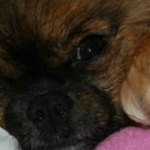 Tiffany's Chihuahua Story