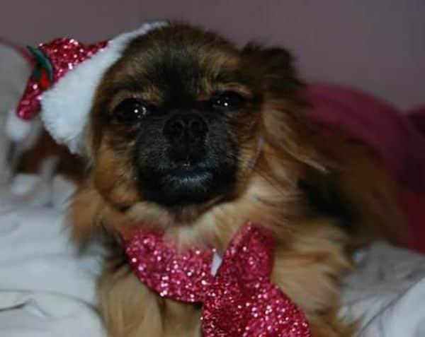Sasha the Chihuahua