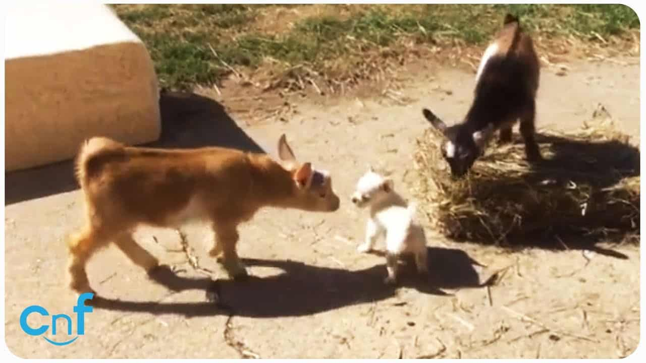 Baby Goats and a Chi Pup