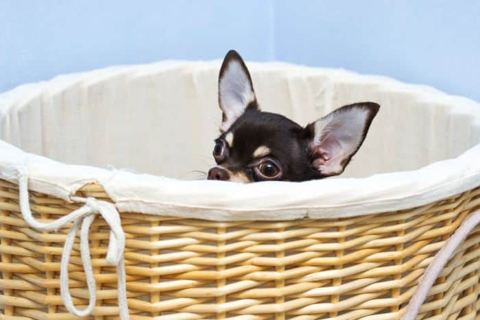 Chihuahua peeking out of basket