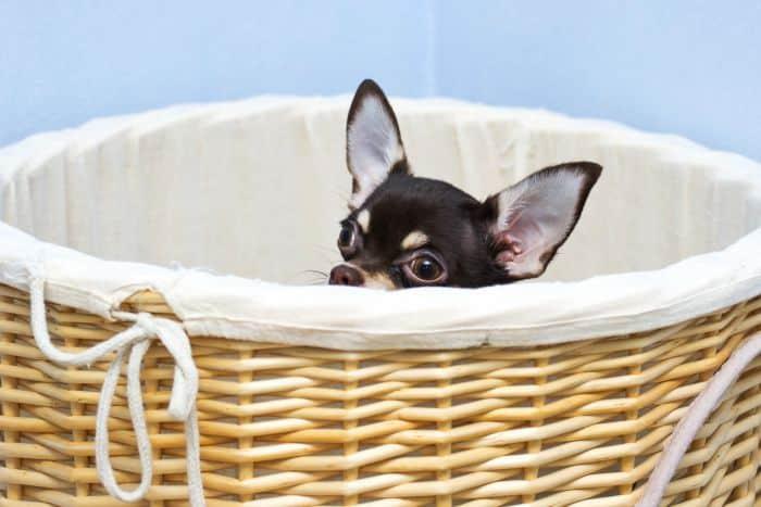 Chihuahua peeking out of basket