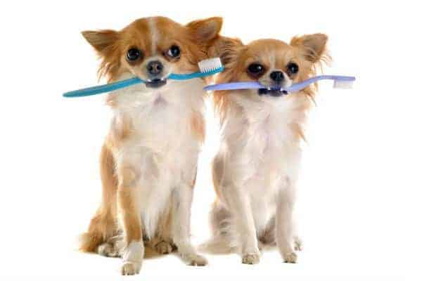 2 Chihuahuas with toothbrushes in their mouths