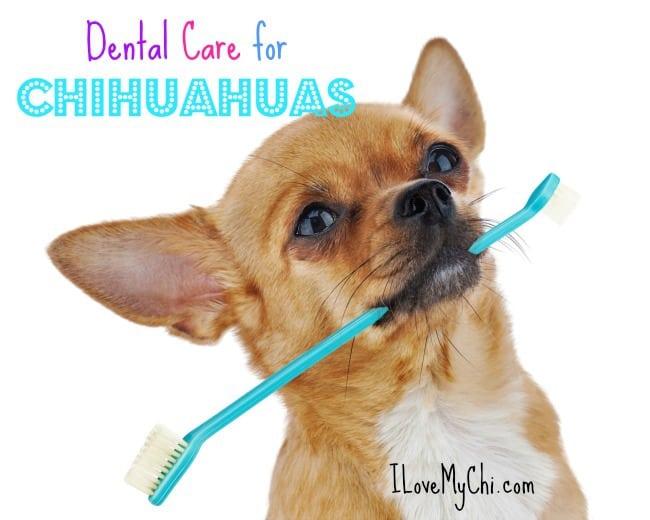 dental care for chihuahuas