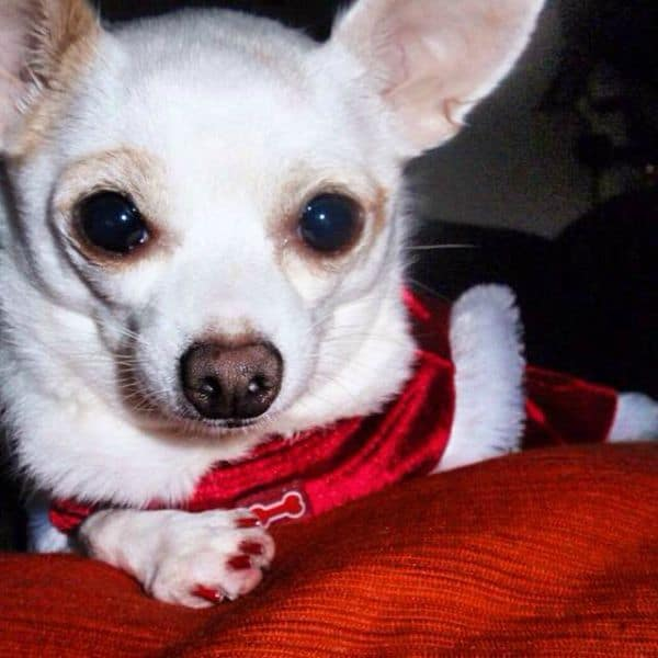 stress in Chihuahuas