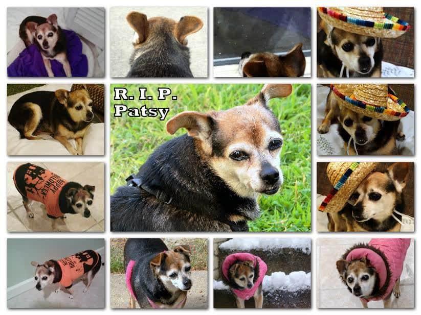 Patsy the Chihuahua