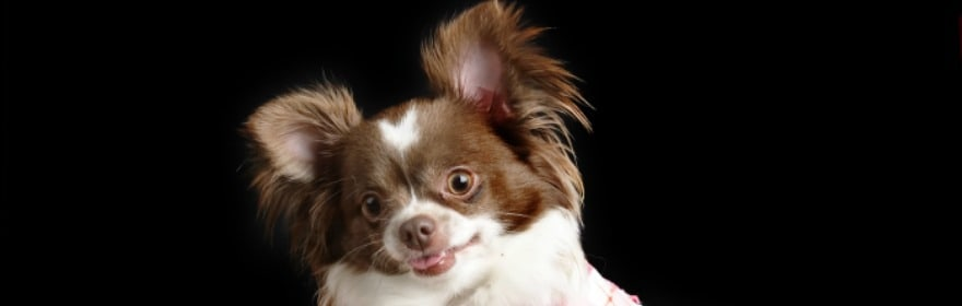 Should you Spay or Neuter your Chihuahua?