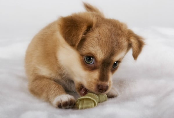 puppy chewing treat