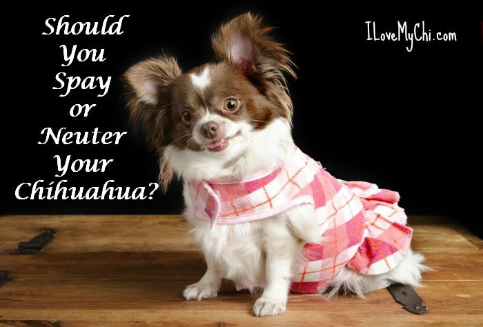 cute chocolate and white pregnant chihuahua wearing a dress