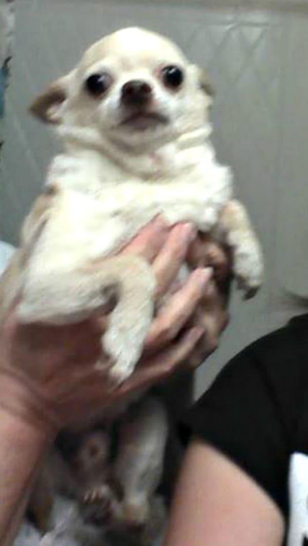 Teco the Chihuahua