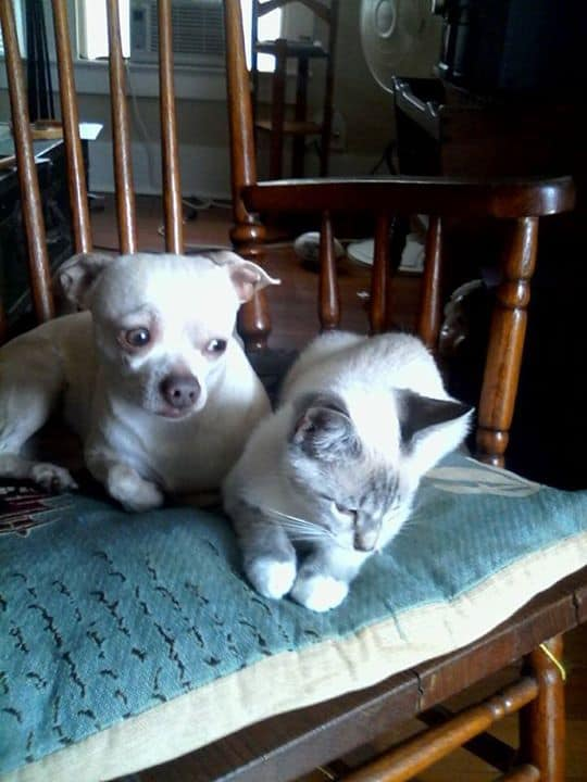 Tobi and Kiki the Chihuahua and cat