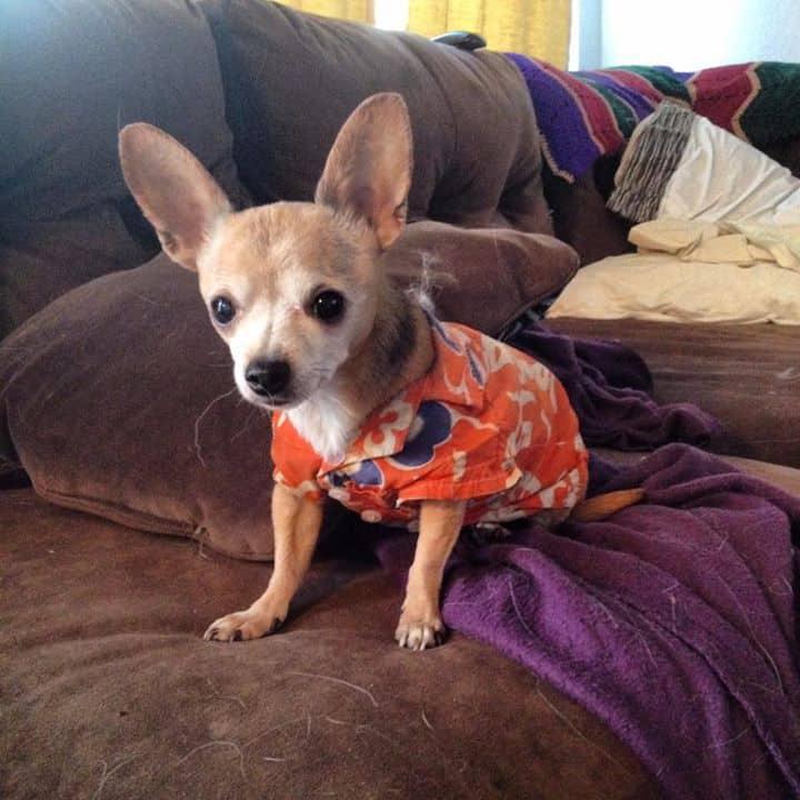 Happy the Chihuahua