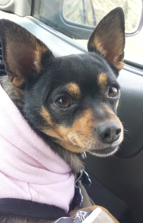 Angel the Chihuahua