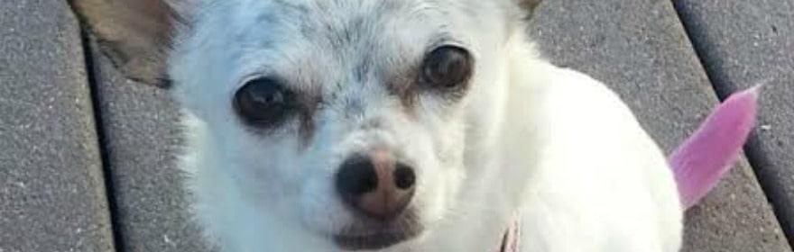 Julie's Chihuahua Story