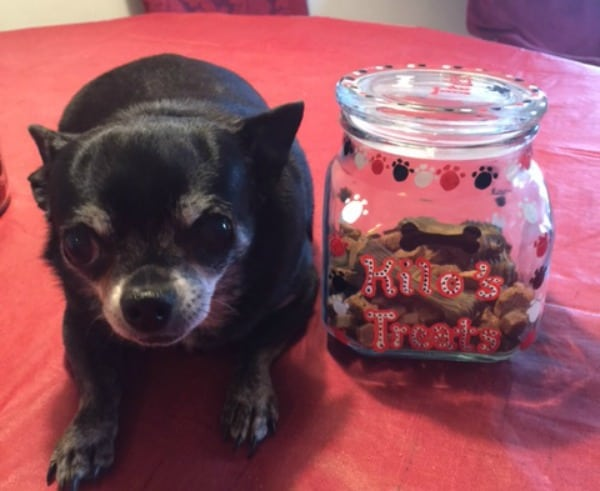 chihuahua sitting by a treat jar with treats