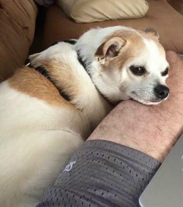 Mollie the Chihuahua