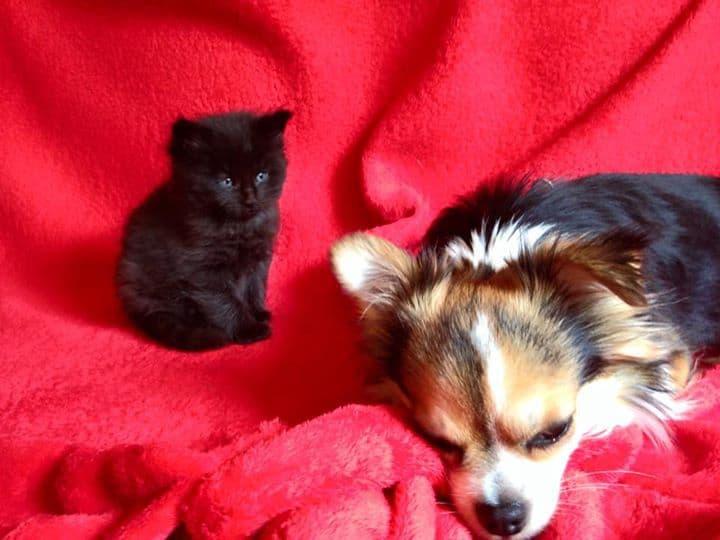 kitten and Chihuahua