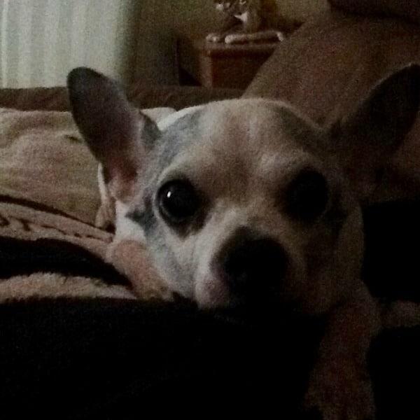Jessie the Chihuahua