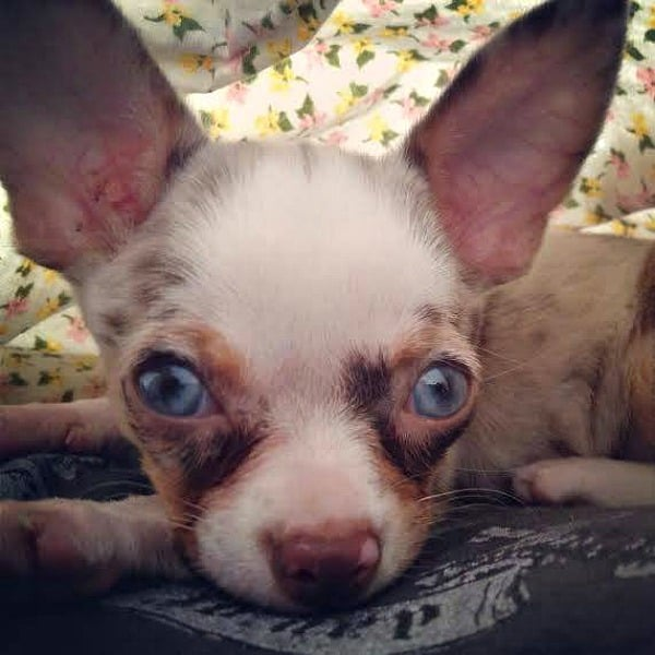 blue eyed blue merle Dakota mom Maria Martin