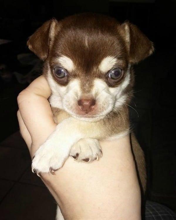 blue eyed chi pup