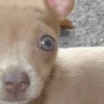 Beautiful Blue Eyed Chihuahuas