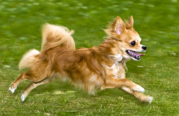 training Chihuahua to come when called