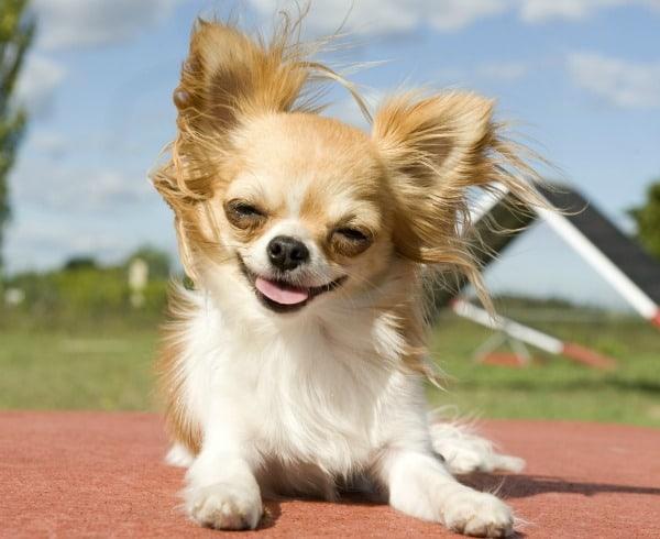 training Chihuahua