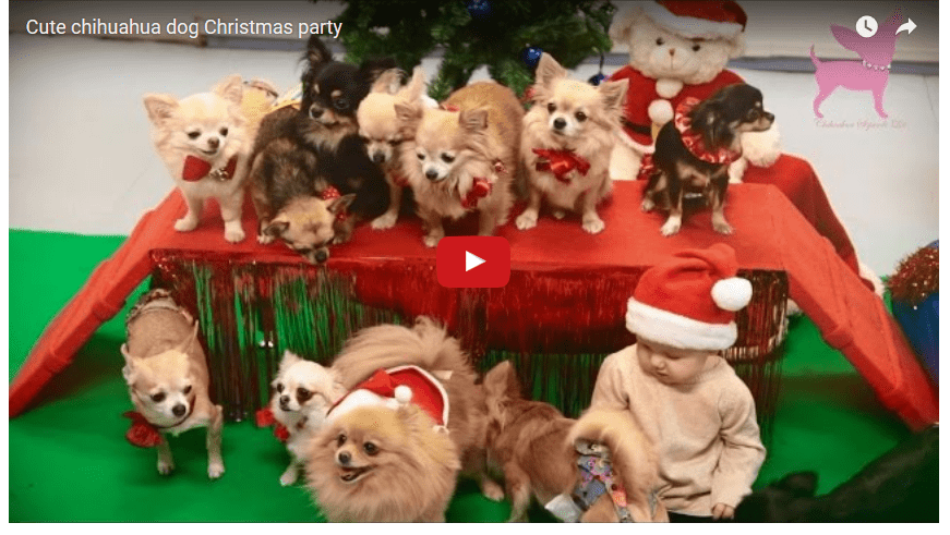 A Chihuahua Christmas Party