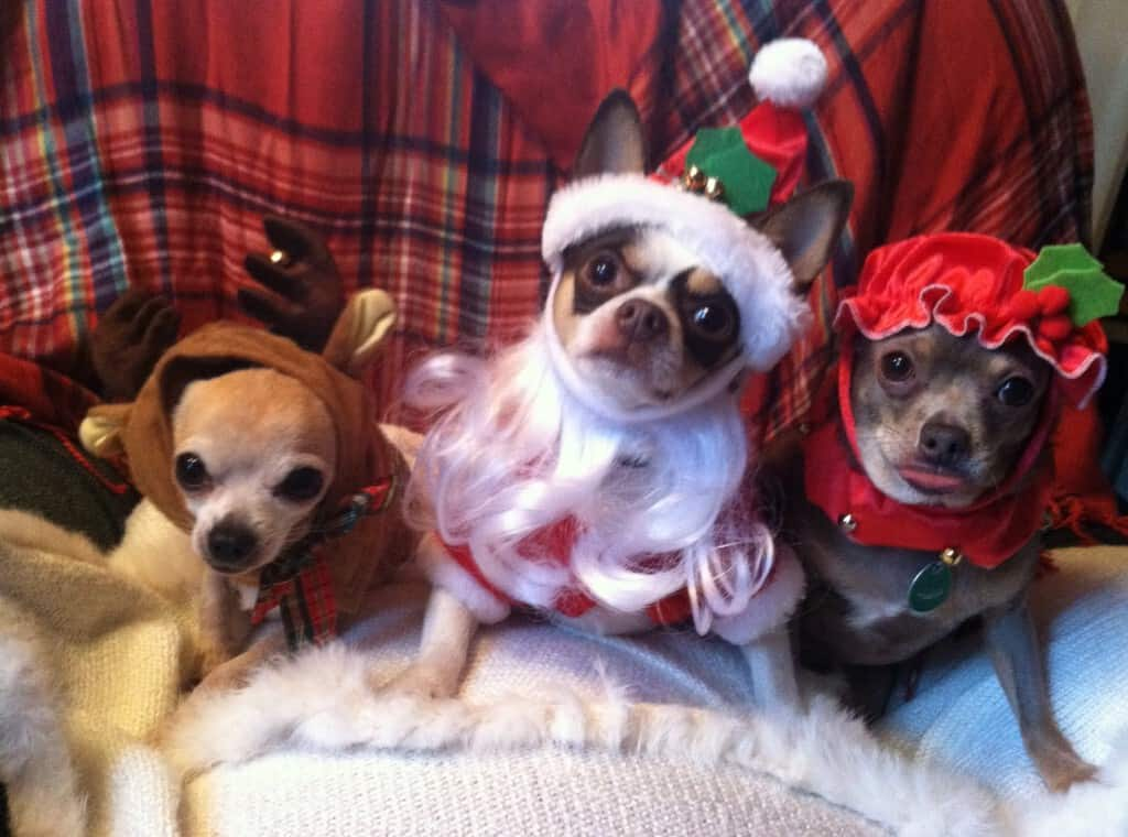 Christmas Chis1