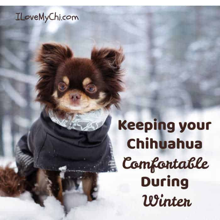 long hair chihuahua wearing coat outside in snow